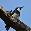 An Acorn Woodpecker