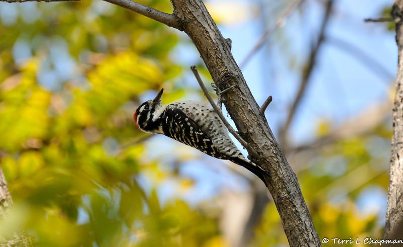 A male Nuttall's Woodpecker