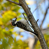 A male Nuttall's Woodpecker