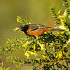 A male Orchard Oriole photographed in January 2014 at the LA Arboretum. This oriole is the smallest of North America's orioles and winters in Mexico, Central America and South America. This bird is considered a rare bird sighting for the Los Angeles area.
