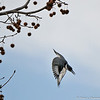 A male Belted Kingfisher taking a dive into a pond to catch a fish
