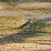 An American Pipit. This bird is a winter visitor to Southern California. The American Pipit breeds in the arctic and alpine tundra.