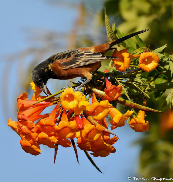 """This image of a male Orchard Oriole, perched on Orange Trumpet Flowers, was featured in the 2017 Spring edition of """"Birds & Bloom"""" magazine.  This oriole is the smallest of North America's orioles and winters in Mexico, Central America and South America. Thus, this lone bird is considered a rare bird sighting for the Los Angeles area."""
