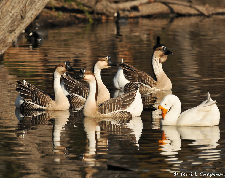 """""""Domestic"""" Swan Geese. The wild form of this goose lacks the large knob at the base of the bill. The Swan Goose, native to eastern Eurasia, is sometimes called a Chinese goose."""