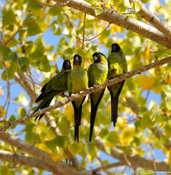 Black-hooded Parakeets resting