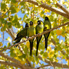 Black-hooded Parakeets resting