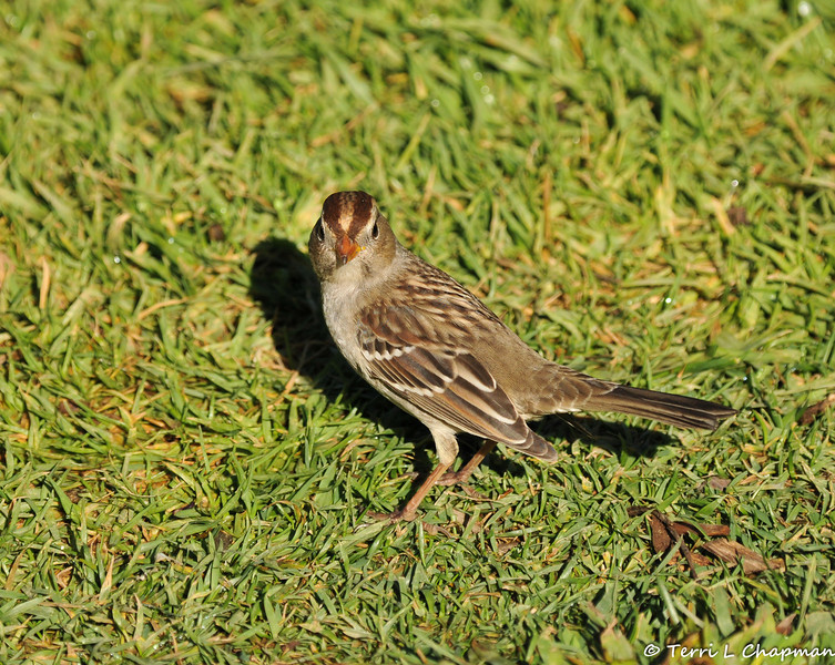 A juvenile White-crowned Sparrow