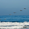 Brown Pelicans flying over the ocean in Monterey, CA