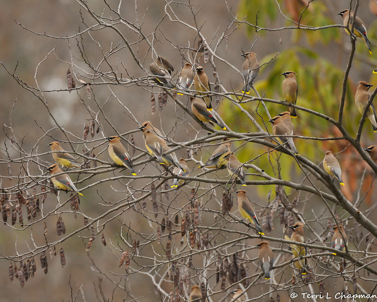 Cedar Waxwings perched in a tree on an overcast morning