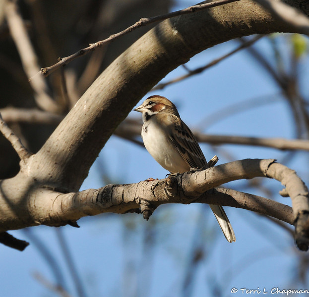 A Lark Sparrow which is one of my favorite Sparrows.