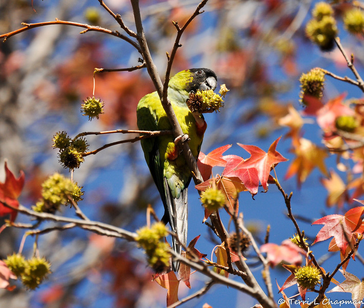 A Black-hooded Parakeet eating a seed ball from a Sweet Gum tree