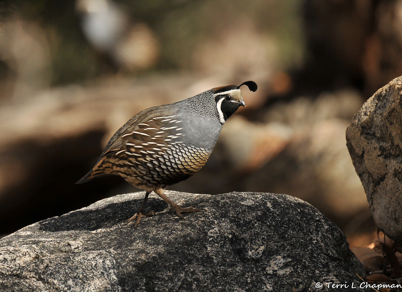 A male California Quail
