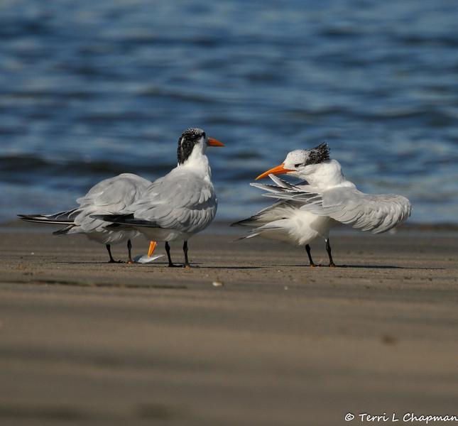 Royal Terns on Cabrillo Beach