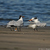 Royal Terns on Cabrillo Beach