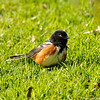 A Spotted Towhee sunning himself on a lawn