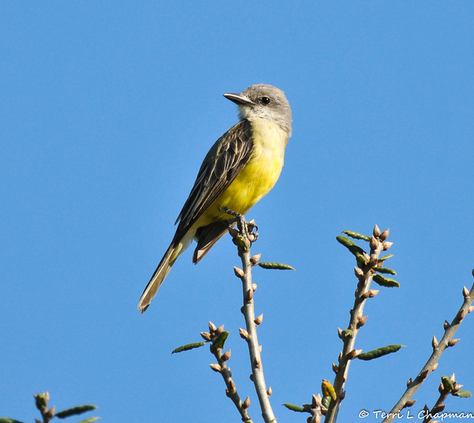 A Tropical Kingbird photographed in Ken Malloy Harbor Park in late January 2014. An extremely common and widespread bird of the American tropics, the Tropical Kingbird barely reaches the United States in south Texas and southern Arizona. Therefore, this lone Kingbird is considered a rare bird for the Los Angeles area.