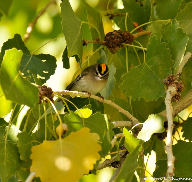 A Golden-crowned Kinglet photographed in Valyermo, CA