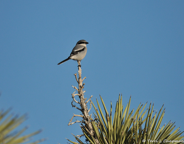 "A Loggerhead Shrike in Valyermo, CA. This bird was once abundant, but has declined drastically through the last half of the 20th century. It is essentially gone from northeastern part of range and continues to decline throughout its range. The subspecies on San Clemente Island in California is listed as endangered on the federal list.<br /> <br /> The Loggerhead Shrike is a predator, but it does not have the strong feet and talons of a raptor. It does have a strongly hooked bill for gripping flesh, and a strong notch or ""tooth"" near the bill tip that helps sever the spinal cord of its prey. It uses thorns and barbed wire to hold large prey while it rips it up, and may wedge prey into a fork in a branch for the same purpose."
