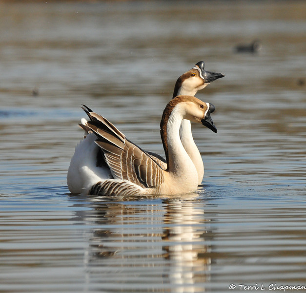 """A pair of """"domestic"""" Swan Geese. The wild form of this goose lacks the large knob at the base of the bill. The Swan Goose, native to eastern Eurasia, is sometimes called a Chinese goose."""