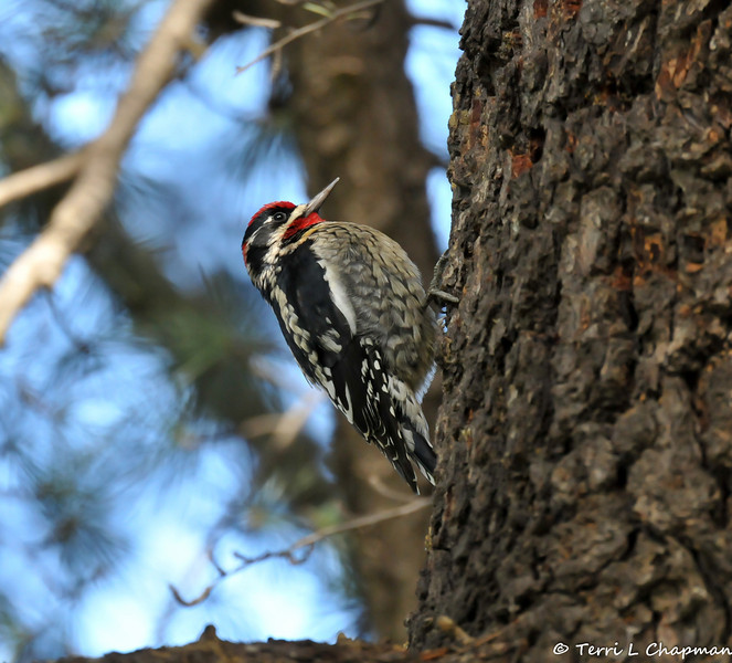 A Red-naped Sapsucker photographed in Calabasas, CA