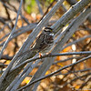 A White-throated Sparrow photographed at Descano Gardens on December 30, 2013.