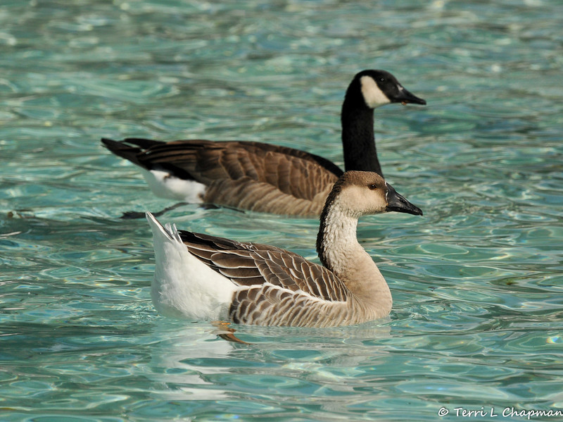 A juvenile Swan Goose hybrid, and a Canada Goose, swimming in the fountain at the LA Arboretum