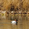 A lone male Canvasback photographed in Valyermo, CA.