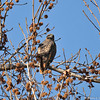 A Red-tailed Hawk in a Sweet Gum tree