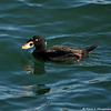 A male Surf Scoter at Cabrillo Beach