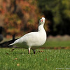 A Ross's Goose