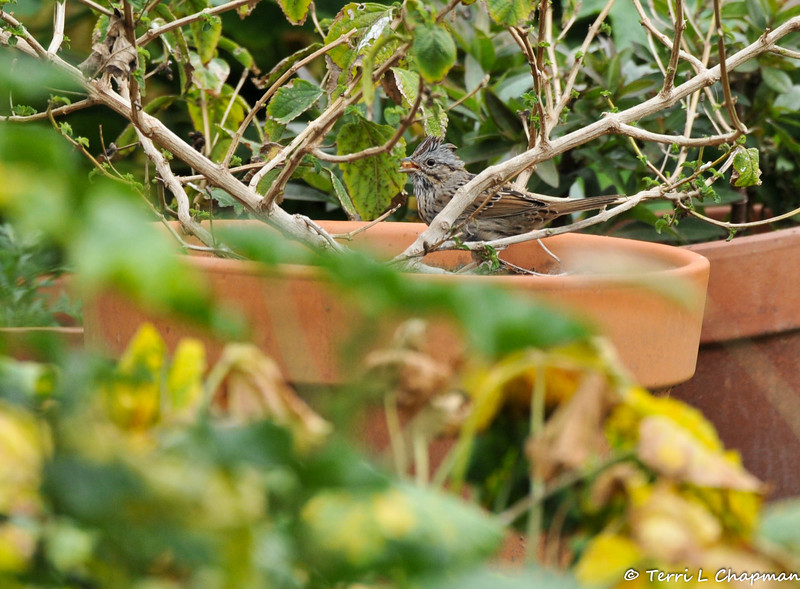 A Lincoln's Sparrow eating a mealworm in my garden.This sparrow spends the winter in California.