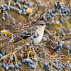 A Northern Mockingbird in a fruiting Chinese Fringe Tree