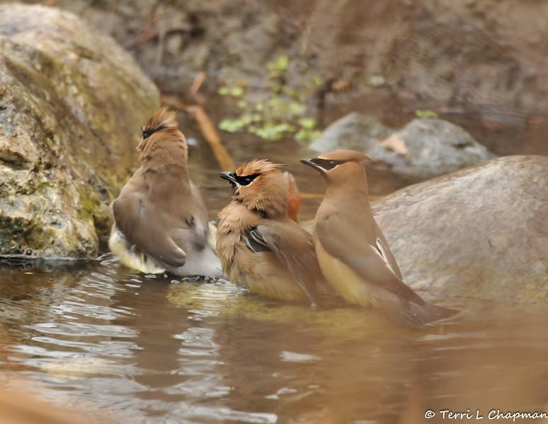 Bathing Cedar Waxwings