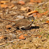 A Fox Sparrow