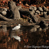 A Snowy Egret foraging for small fish in the lake at the LA Arboretum.