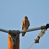 An adult Red-shouldered Hawk perched on a utility pole looking for its next meal