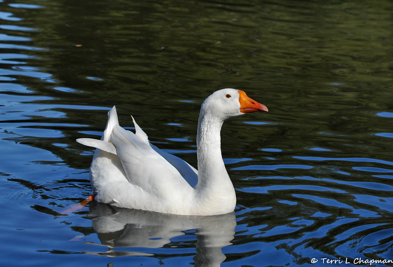 """""""Powder"""" the resident goose at Descanso Gardens in La Canada, CA."""