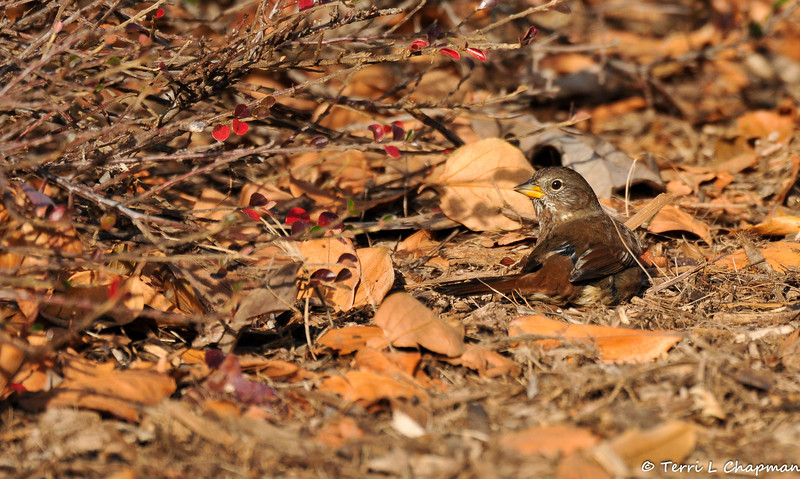 A Fox Sparrow laying on the ground, on a cold morning, trying to warm itself in the sun.