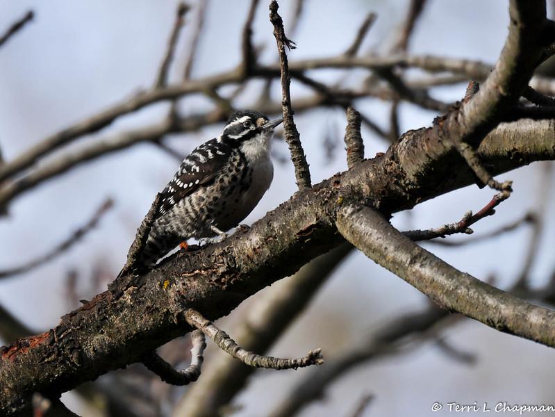 A female Nuttall's Woodpecker