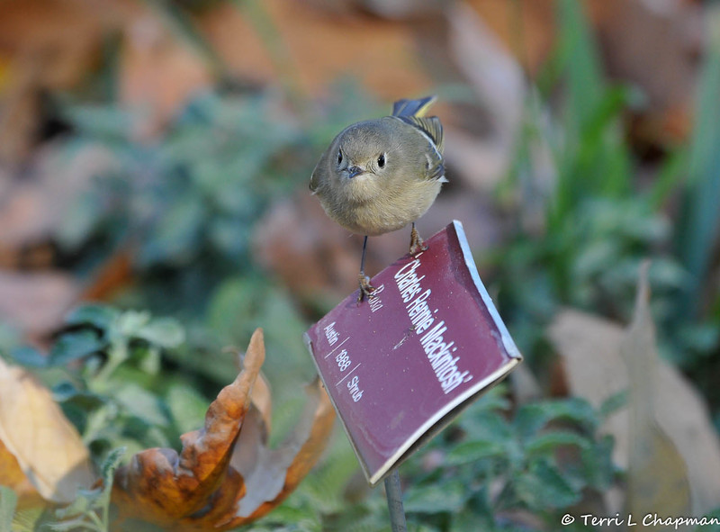 A Ruby-crowned Kinglet perched on plant signage at Descanso Gardens in La Canada, CA,