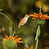 An Allen's hummingbird sipping nectar from a Lion's Tail flower