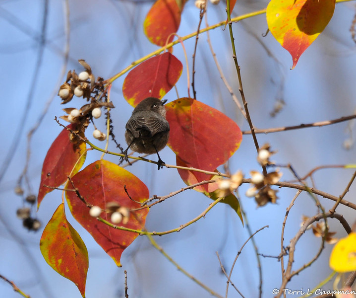 A female Bushtit in a Chinese tallow tree