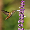 A male Allen's Hummingbird sipping nectar from a Salvia plant.