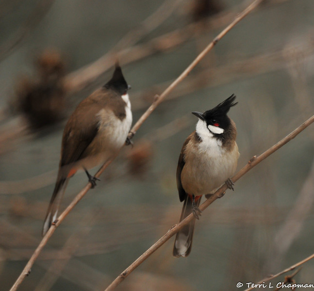 Red-whiskered Bulbuls