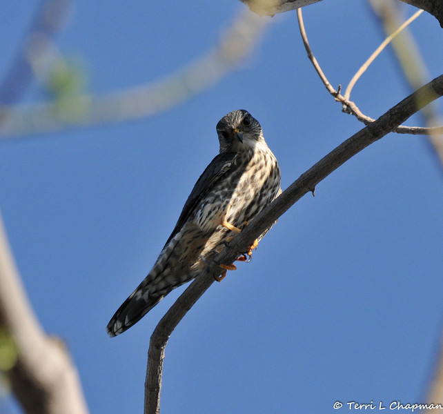 A Merlin photographed in Burbank, CA February 12, 2016