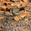 A Yellow-rumped Warbler feeding off berries dropped from a nearby Chinese Fringe tree