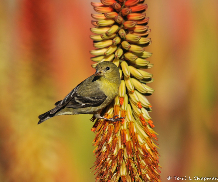 A female Lesser Goldfinch, hanging on a blooming Hot Poker plant, so she could sip  nectar