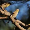 An American Goldfinch