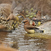 Cedar Waxwings bathing