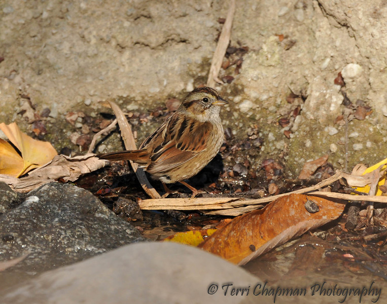 This is a photograph of a Swamp Sparrow that I photographed at the LA Arboretum on December 31, 2015. Because this sparrow can be found across eastern and central North America in the spring and summer, and moves eastward in fall to winter in the Southeast, this bird is considered rare for the Los Angeles area. <br /> <br /> Swamp Sparrows live in various wetlands, including freshwater and tidal marshes, bogs, meadows, and swamps and have longer legs than other members of its genus to allow them to wade in shallow water to forage. The Swamp Sparrow sometimes sticks its head under water to try to capture aquatic invertebrates